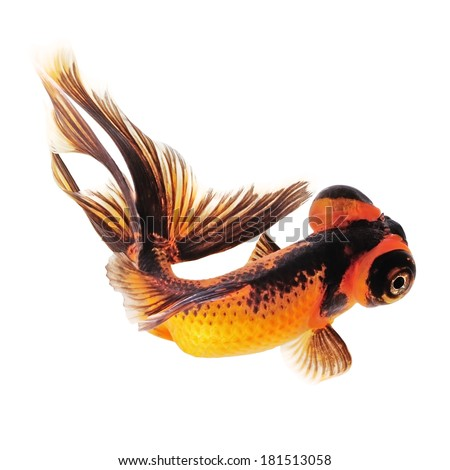 Telescope Eye Goldfish For Sale Telescope Eye Goldfish With a