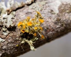 Teloschistes chrysophthalmus, the golden-eye lichen is fruticose lichen with branching lobes