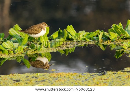 stock-photo-temminick-s-stint-bird-the-reflection-can-be-seen-in-water-95968123.jpg
