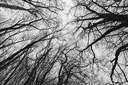 Temperate oak tree forest in winter.