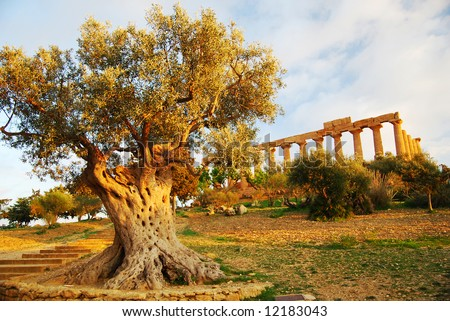 Temple of Hera and olive tree, Valley of the Temples, Agrigento, Sicily