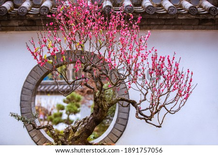 temple Plum Flower Blossom with the temple architecture in the background.kunming,yun'nan,China. Stock photo ©