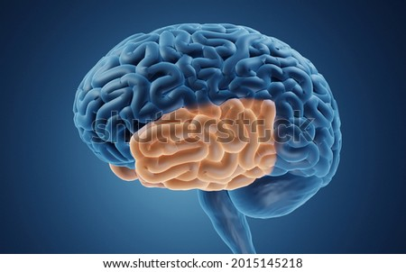 Temporal lobe is responsible for encoding of memory and processing auditory information, 3d illustration Foto stock ©