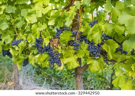 Tempranillo grapes on the vine at a Spanish vineyard Stockfoto ©