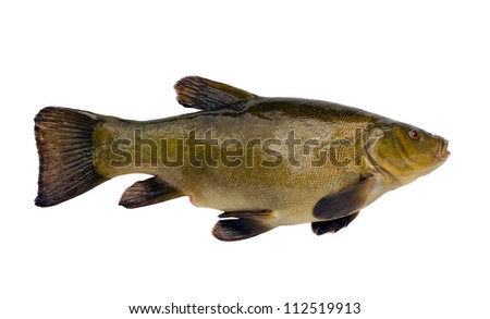Tench fish after fishing isolated on white background. Beautiful lake fish with orange red eyes.