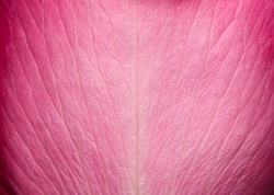 Tender beautiful rose petal texture. Pink rose petal close up. Macro photo of natural rose petal texture. Rose petal background