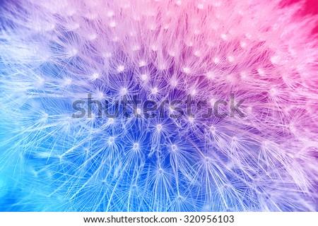 Tender cyan and pink gradient with dandelion flower macro background