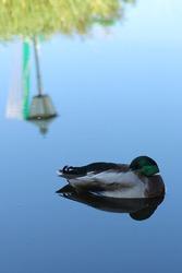 Tender duck sleeps on the water. Tired mallard wakes up late.