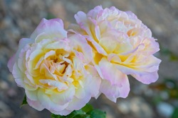 Tender hybrid tea roses