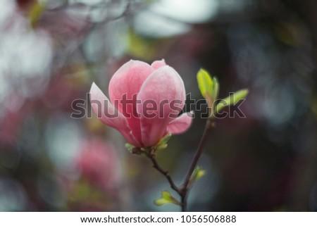 Tender magnolia flower close up.