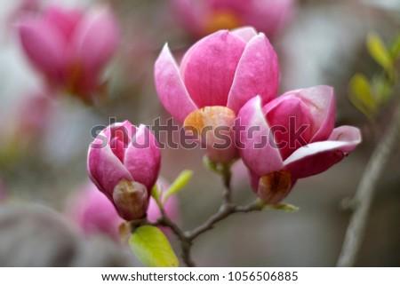 Tender magnolia flowers close up.