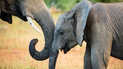 Tender moment between elephant mother and offspring