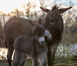 Tender moments of mother donkey peting her colt in forest