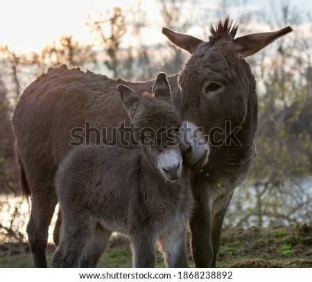 Tender moments of mother donkey peting her colt in forest ストックフォト ©