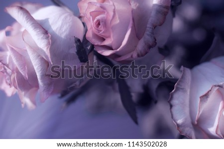 tender pale pink rosebuds. gentle light and lilac tones. macro flowers on a blurred background #1143502028
