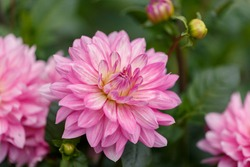 Tender pink dahlia in the summer garden