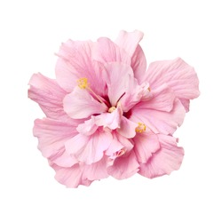 tender pink hibiscus flower isolated