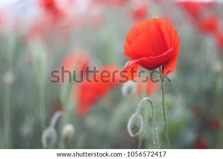 Tender poppy flower (Papaver).