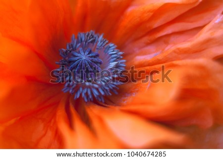 Tender poppy flower (Papaver) close up.