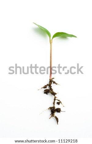 tender shoot and its roots in white background