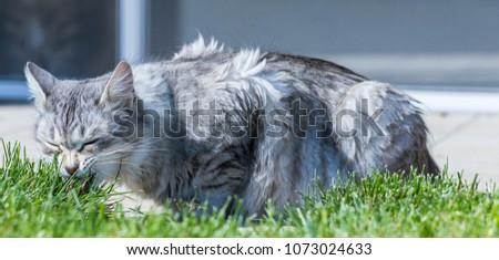 Tender Siberian breed of cat outdoor, purebred hypoallergenic animal #1073024633