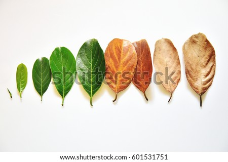 Tender to old leaves arranged sequentially - conceptual image of life and aging. Phases of life - childhood, adolescence, adulthood and old age. Health of skin and skin care.