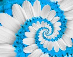 Tender white blue flower swirl camomile daisy kosmeya flower spiral abstract fractal effect pattern fractal background. Twisted blue pastel flower spiral twirl. Distorted surreal floral background