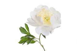 Tender white peony flower isolated on white background.