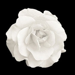Tender white rose flower macro isolated on black