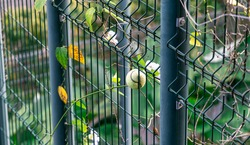 Tennis ball stuck in chainlink fence.  A green tennis ball stuck in the blue cage