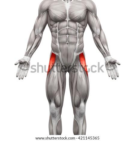 Tensor Fasciae Latae - Anatomy Muscles isolated on white - 3D illustration Zdjęcia stock ©