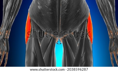 Tensor fasciae latae Muscle Anatomy For Medical Concept 3D Illustration Zdjęcia stock ©