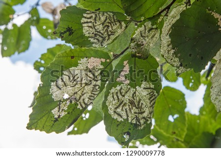 Tent Caterpillars defoliating leaves - view from underneath