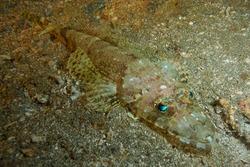 tentacled flathead or crocodilefish (Papilloculiceps longiceps) Bali, Indonesia