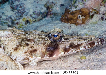 Tentacled flathead (Papilloculiceps longiceps) head close-up, Red Sea, Egypt.
