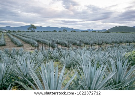 Tequila Jalisco Mexico, agave landscape