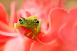 Teratohyla spinosa, Spiny Glass Frog, tinny amphibian with red flower, in nature habitat. Frog from Costa Rica, tropic forest. Beautiful animal in jungle, exotic animal from South America. Eye detail.