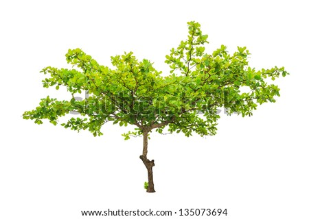 Terminalia catappa also known as Tropical almond Bengal almond Indian almond Sea almond Beach almond tropical tree in the northeast of Thailand isolated on white background