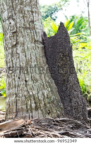 termite mounds side coconut tree at Thailand