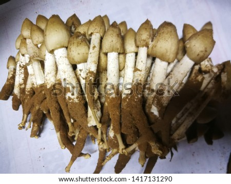 Termite  mushrooms  on  white  background  photo.