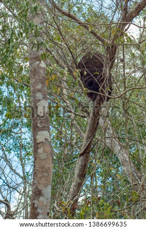 Termite nest, perched on top of a tree, in the forest