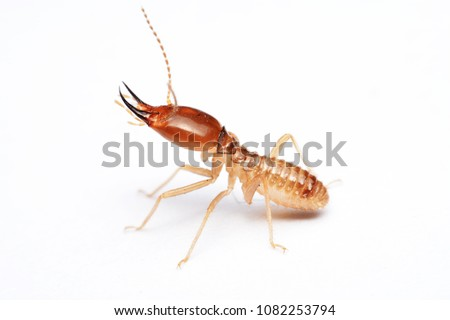 Termite on isolated whited background