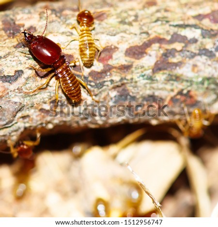 Termite pictures looking for food on the wooden floor,Wood destruction.