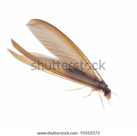 termite white ant  isolated on white