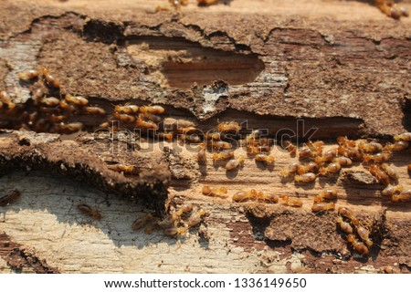 Termites are eating the wood of the house. They destroy houses, wooden parts and destroy wood products.