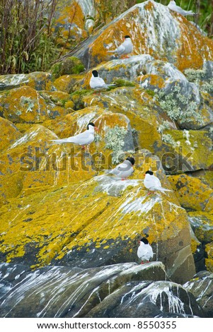 Tern colony  beagle strait, patagonia, argentina
