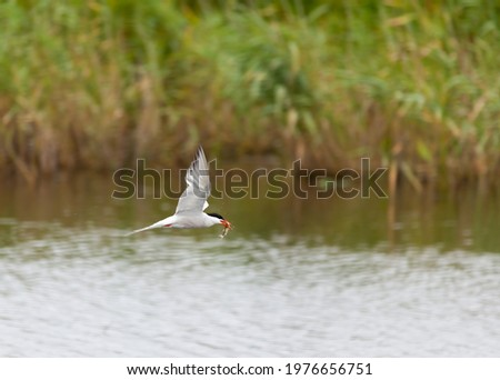 Tern in flight with a freshly caught fish in its beak. Stockfoto ©