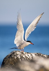 Tern with spreading wings on a stone. Adult common tern on the blue sky background. Side view  Scientific name: Sterna hirundo.