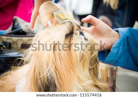TERNOPIL-SEPTEMBER 09: Grooming dog on the Ternopil Regional exhibition of dogs on September 09, 2012 Ternopil, Ukraine