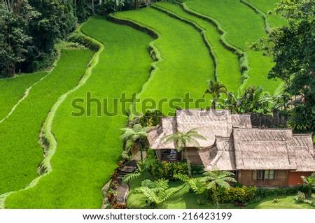 Terrace rice fields at Bedugul village in Bali Indonesia